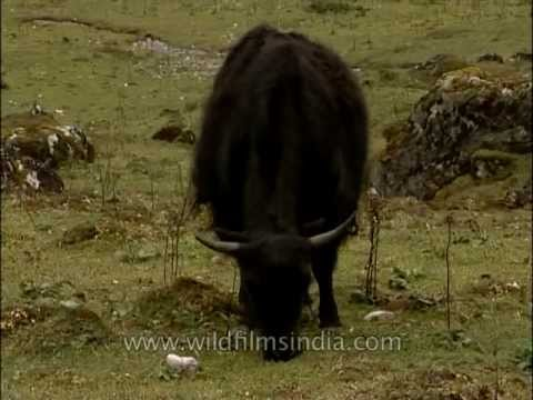 Domestic yak grazing in Lachung Yumthang valley, Sikkim