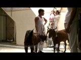 Sacrificial goat for Eid al-Adha ritual sacrifice