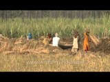Threshing of paddy in the fields alongside the road to Delhi from Meerut