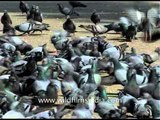 Jama Mosque filled with thousands of pigeons!