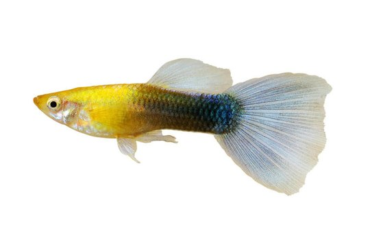 Aquarium für Guppys