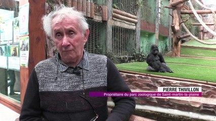 La naissance d'un bébé gorille booste les entrées du parc de Saint-Martin-la-Plaine