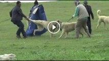 SiVAS KANGALLARINI ZOR AYIRDILAR ANATOLiAN SHEPHERD SiVAS KANGAL DOG vs SiVAS KANGAL DOG