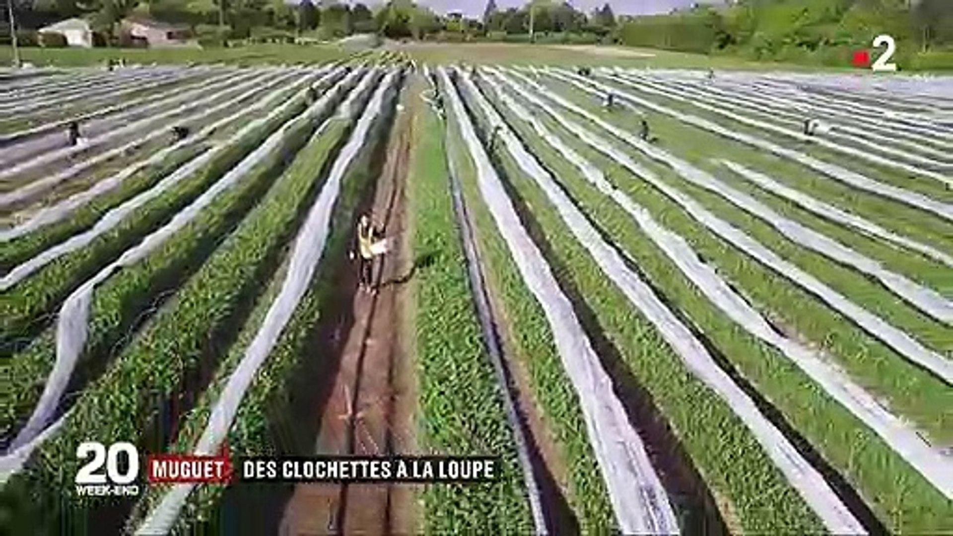 Comment Planter Du Muguet 1er mai : comment le muguet est-il cultivé pour arriver à temps ?