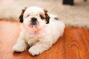 Top 10 des races de chiens les plus mignons