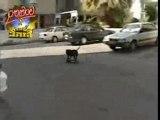 ANIMAUX-HUMOUR : BULLIT le chien skateur
