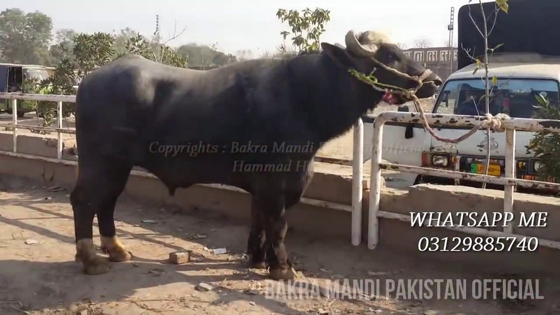 Bull for Qurbani - Angry Bull - Angry Bhainsa for Qurbani