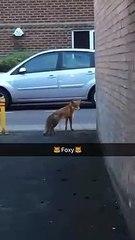 Il croise un renard en pleine ville et pense qu'il est inoffensif