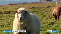 Agriculture : Ouessant à la recherche d'un agriculteur-éleveur