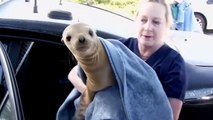 Rescued Sea Lion Rides In Police Cruiser