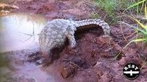 Ce pangolin adore les bains de boue... Grand moment