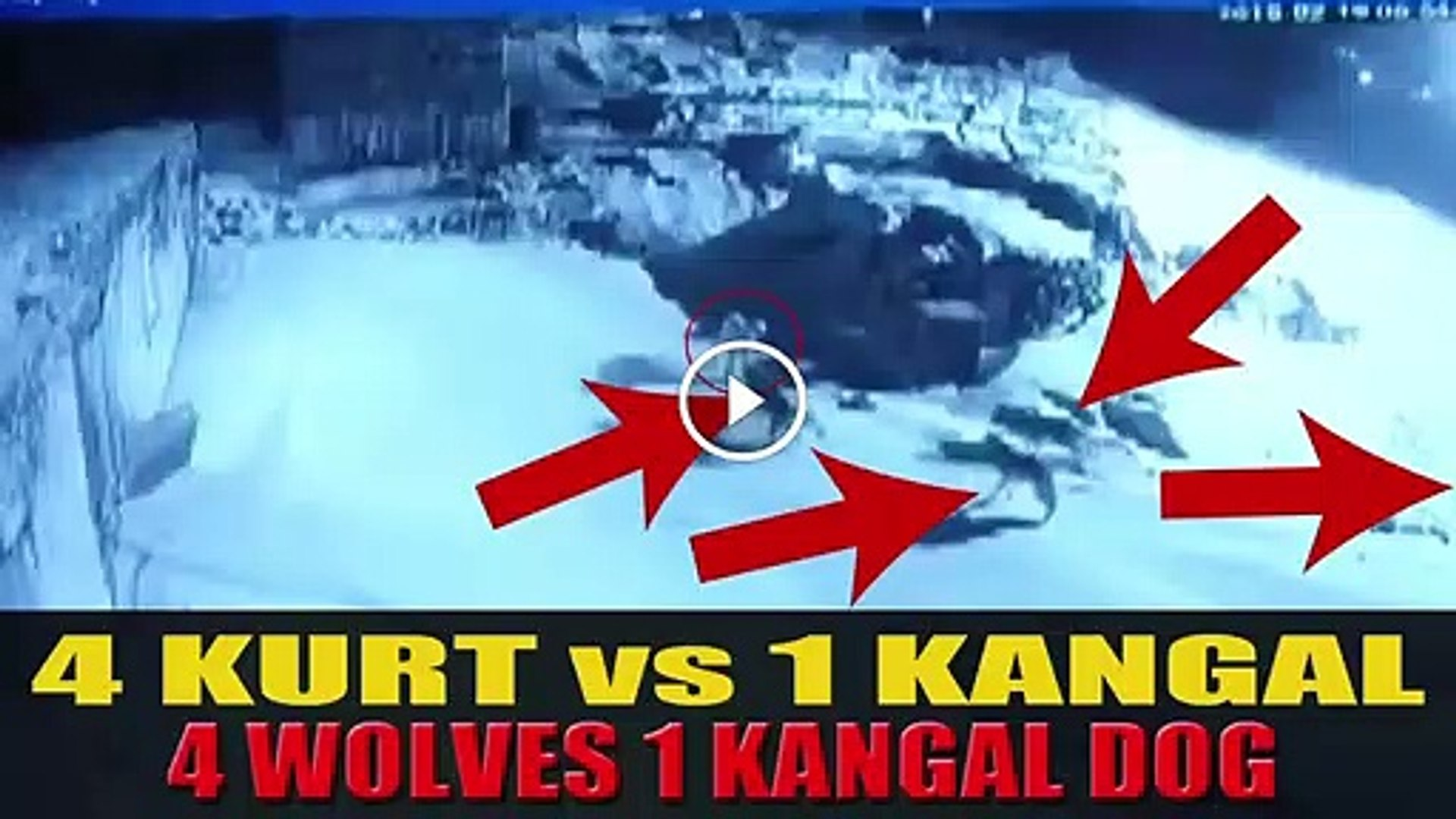 4 KURT 1 SiVAS KANGALA SALDIRIRSA - 4 WOLVES vs 1 KANGAL DOG