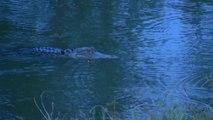 Postbode voelt zich bedreigd door alligator