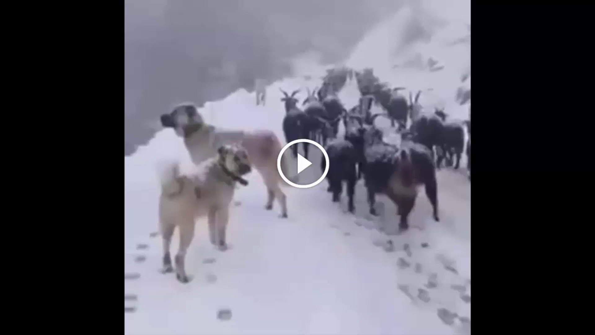 SiVAS KANGAL KOPEGi KAR KIS DEMiYOR - ANATOLiAN SHEPHERD KANGAL DOG WiNTER and SHEEP