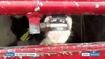 Élevage de veaux: l'association L214 diffuse une nouvelle vidéo choc
