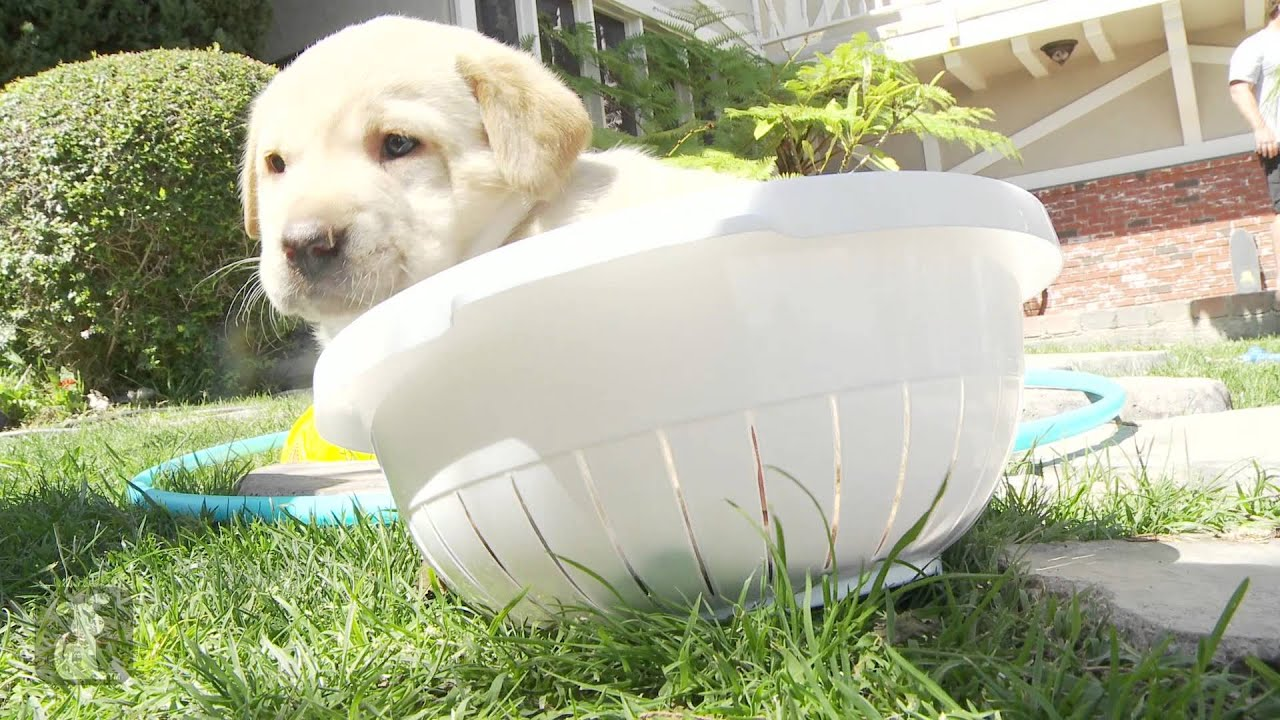 Puppy Can Get Out of Bowl