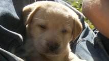Yellow Lab Puppy Loves You-