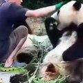 Ce panda a faim et il sait comment demander à manger. Marrant !