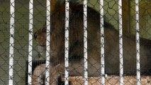 Tre leoni in condizioni pietose in zoo Albania portati in Olanda