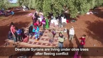 Syrians destitute under olive trees after days of bombing
