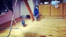 Chinchilla vs. kitten | Addicted to Viral #Chinchilla #kitten #cats #funny #nature #viral #amazig