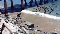4 chiens débiles veulent chasser un banc de de lions de mer. Tellement drole