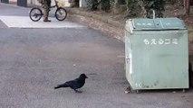 Ce corbeau vient embêter un jeune rat... Pas sympa