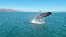 We're Mesmerized By This Footage of Whales Breaching