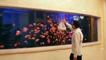 Ces poissons suivent les mouvements d'un sac devant l'aquarium