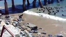 4 chiens débiles veulent chasser un banc de de lions de mer. Tellement drôle