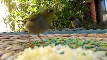 White Browed Wren, Blue Wrens and Silvereyes Feeding in our Backyard