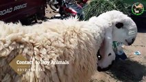 Rajanpuri Bakra - Sindhi Goats in Lahore Bakra Mandi For