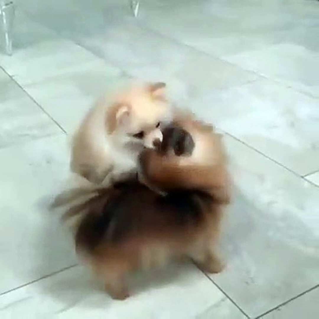 Nice to watch these cuties playing with each other Baby | puppies playing #viralVideos #pets #dogs