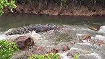 Un énorme crocodile descend les rapides de cette rivière