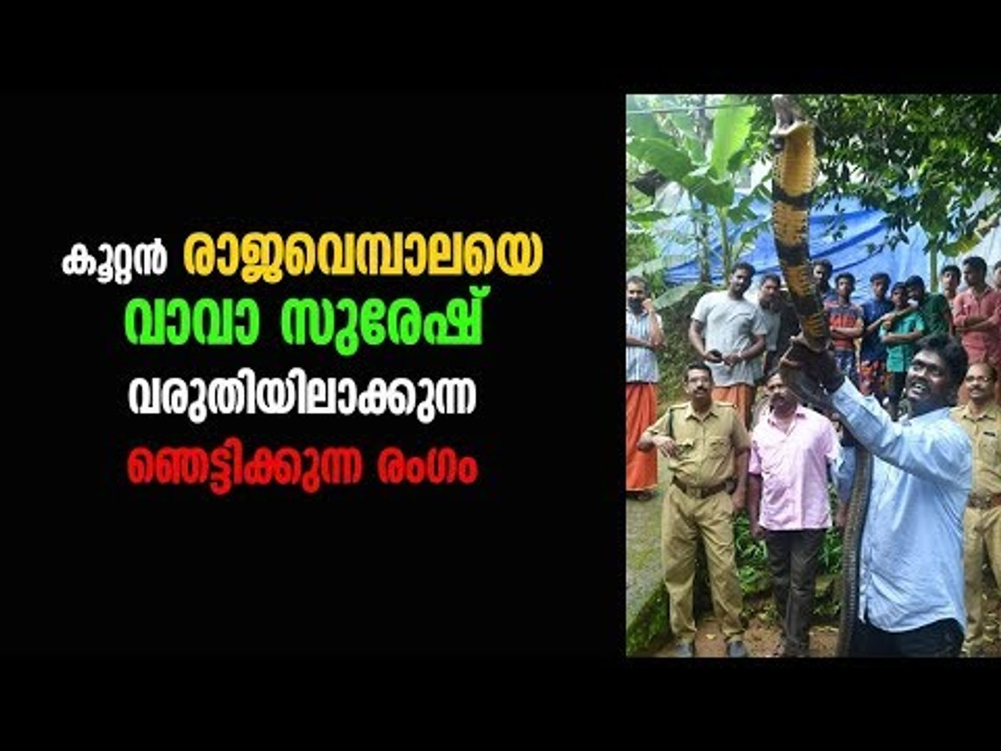 Vava Suresh Catches King Cobra! Deepika News
