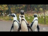 How to training the penguins in most effective way | More China