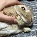 Ce lapin qu'on caresse semble apprécier le moment. Vidéo Relaxante !