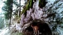 Il filme deux lynx dans le Haut-Doubs