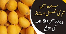 Mangoes fields affected in Sindh, yield to decrease by 50%