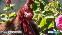 Charente-Maritime : le chant d'un coq au cœur d'une querelle entre voisins
