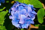 Les Experts Jardin: Comment tailler son hortensia.