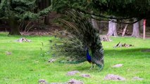 The Beautiful Peacock will make your day ,  Nature is Amazing #trending #peacock