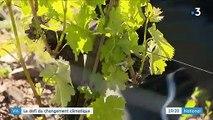 Vin : des cépages anciens pour s'adapter au changement climatique