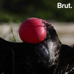 How do frigatebirds find their mates?