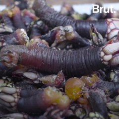 Goose barnacles: a strange and edible life form