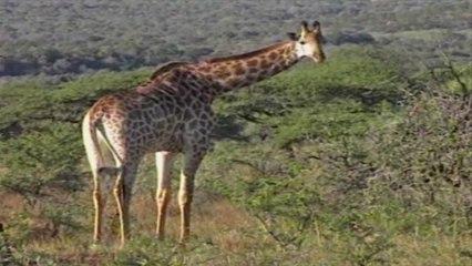 Wild 3 - Giraffe & Zebra