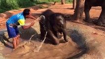 Ce bébé éléphant adore prendre son bain... Trop mignon