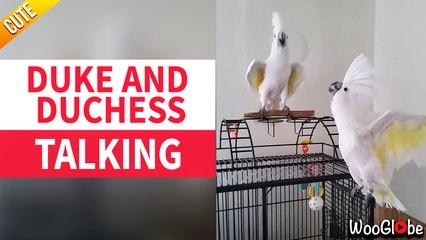 Talking Birds : Duke and Duchess playing and talking || WooGlobe