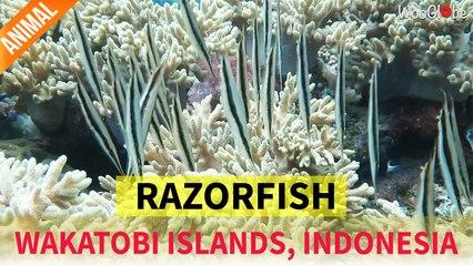 School of Razor Fish appear as thin leaves || WooGlobe