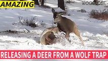 Man Rescues Deer caught in wolf trap   Very Touching    WooGlobe